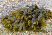Braunalge (Brown algae fucus)